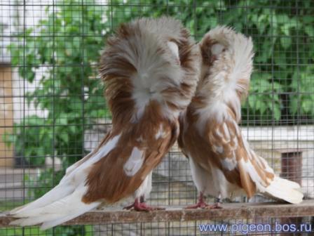Продам голубей бойных мы обязательно