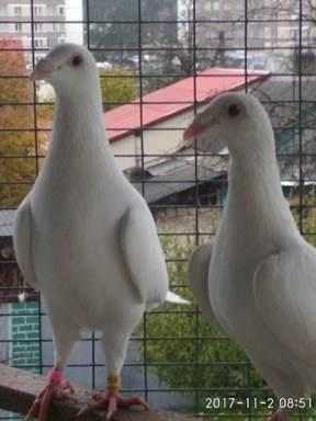 Мраморный голубь Измайловская подбор памятников Красный Судин